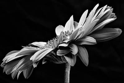 Photograph - Gerbera by Edgar Laureano