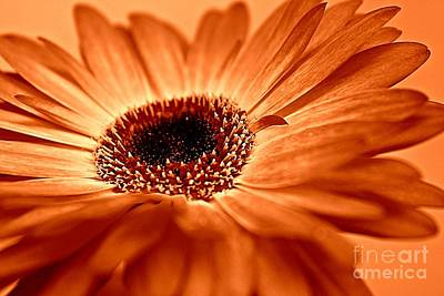 Sepia Flowers Photograph - Gerbera Glow by Clare Bevan
