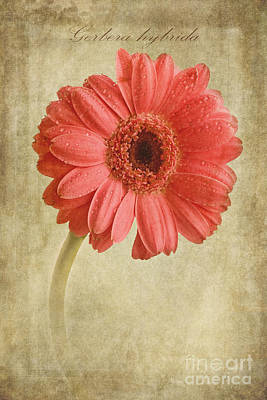 Windflower Photograph - Gerbera Hybrida With Textures by John Edwards