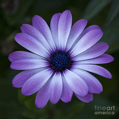 Photograph - Gerbera In Purple by Susan Parish