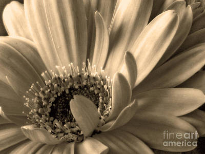 Photograph - Gerbera In Sepia by Chris Anderson