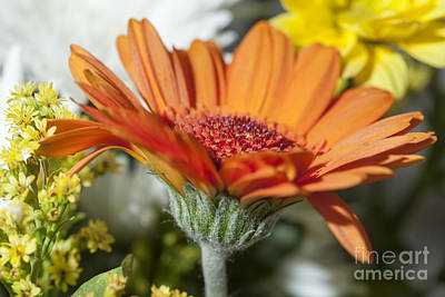 Photograph - Gerbera by Jim Orr
