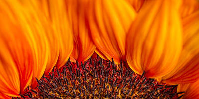 Abstract Photograph - Gerbera On Fire by Adam Romanowicz