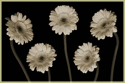 Photograph - Gerbera Quintet by Terence Davis