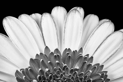 Gerbera Rising Art Print by Adam Romanowicz