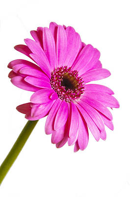 Photograph - Gerbera by Ross G Strachan
