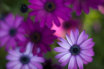 Gerbera Daisy Photograph - Gerbera Soft Layers by Mike Reid