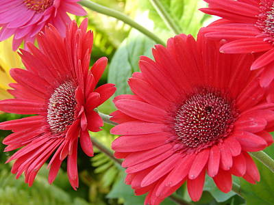 Photograph - Gerberas In The Garden by Priscilla Richardson