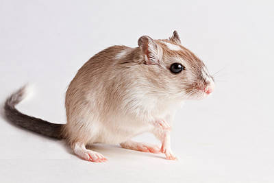 Erect Photograph - Gerbil Gerbillinae by David Kenny