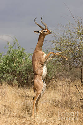 Art Print featuring the photograph Gerenuk Antelope by Chris Scroggins