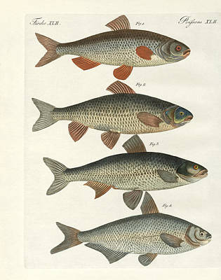 Oder Drawing - German River Fish by Splendid Art Prints