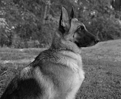 German Shepherd - B/w Art Print by Sandy Keeton