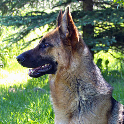Photograph - German Shepherd Dog Female by Karon Melillo DeVega
