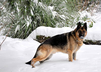 Dog Photograph - German Shepherd In The Snow 3 by Tanya  Searcy