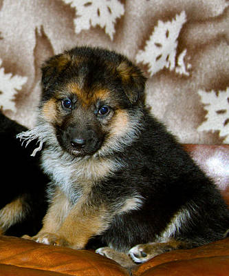 Photograph - German Shepherd Puppy by Karon Melillo DeVega