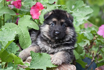 Alsatian Photograph - German Shepherd Puppy Peeking by Zandria Muench Beraldo