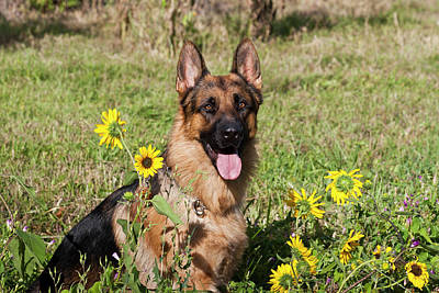 Herding Dog Photograph - German Shepherd Sitting by Zandria Muench Beraldo