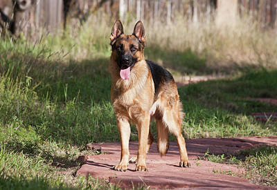 Alsatian Photograph - German Shepherd Standing On A Sandstone by Zandria Muench Beraldo