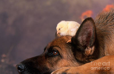 Photograph - German Shepherd With Baby Chick by Alan and Sandy Carey