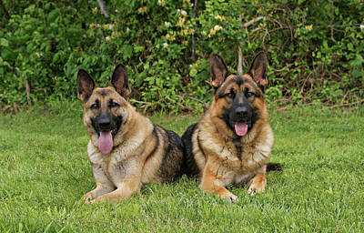 German Shepherds - Mother And Son Art Print by Sandy Keeton