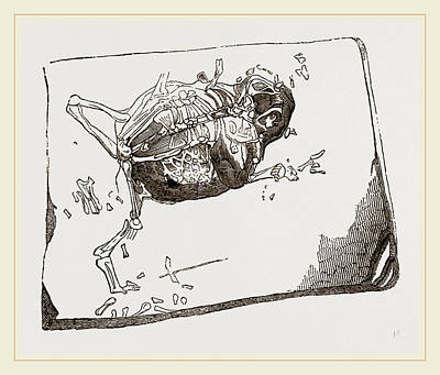Fossil Drawing - Gessners Fossil Toad by Litz Collection