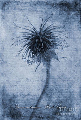 Geum Urbanum Cyanotype Art Print by John Edwards