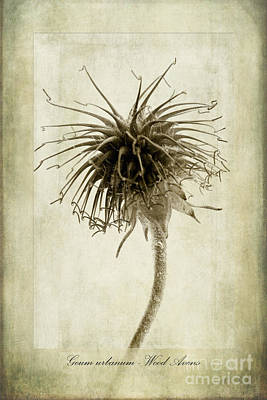 Geum Urbanum In Sepia Art Print by John Edwards