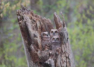 Photograph - Gho Owlets by Daniel Behm