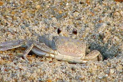 Digital Art - Ghost Crab by Eva Kaufman