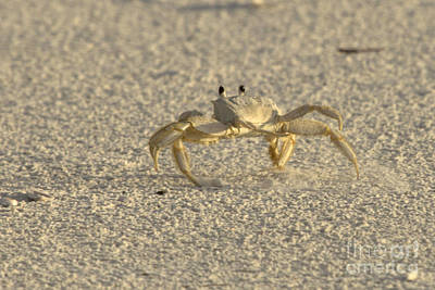 Photograph - Ghost Crab by Meg Rousher