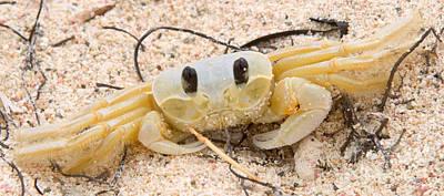 Ghost Crabs  Art Print by Iris Richardson