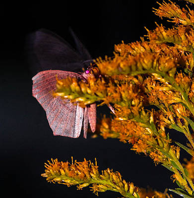 Photograph - Ghost Moth by Haren Images- Kriss Haren