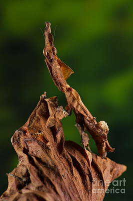 Photograph - Ghost Or Dead Leaf Mantis by Francesco Tomasinelli