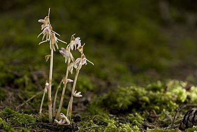 Ghost Orchid (epipogium Aphyllum) Art Print
