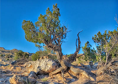 Photograph - Ghost Ranch Juniper by Alan Toepfer