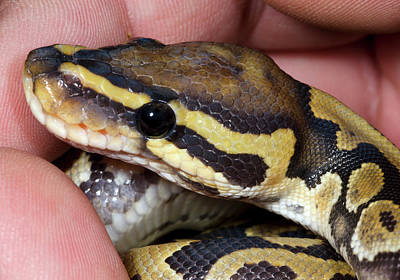 Ball Python Photograph - Ghost Royal Python Or Ball Python by Nigel Downer