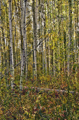 Photograph - Ghosts Of A Quaking Aspen Three by Eric Rundle