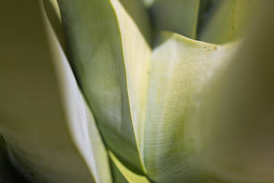 Photograph - Giant Agave Abstract 6 by Scott Campbell