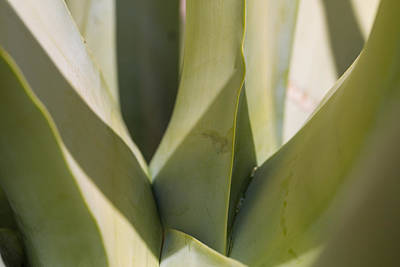 Photograph - Giant Agave Abstract 7 by Scott Campbell