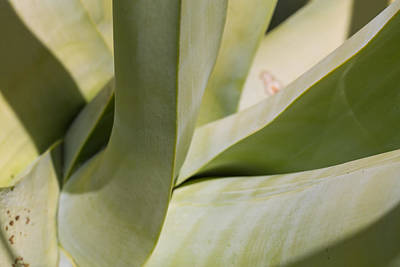 Photograph - Giant Agave Abstract 8 by Scott Campbell
