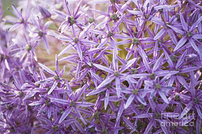 Royalty-Free and Rights-Managed Images - Giant Alliums by Michael Ver Sprill