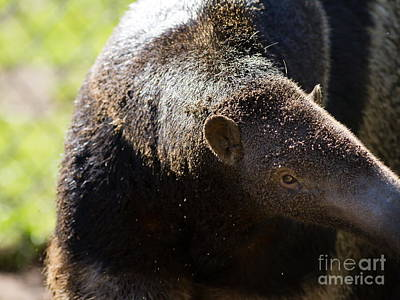 Photograph - Giant Anteater 7d9054 by Wingsdomain Art and Photography
