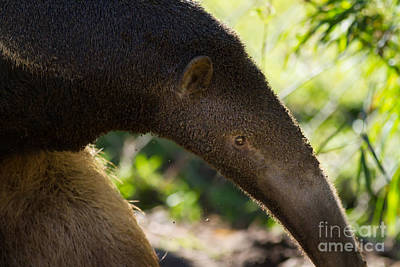 Photograph - Giant Anteater 7d9055 by Wingsdomain Art and Photography