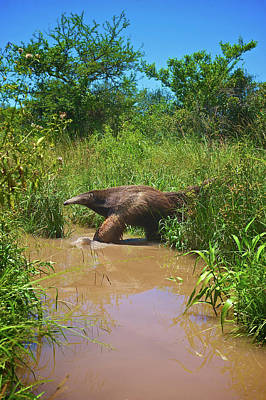 Anteater Photograph - Giant Anteater, Myrmecophaga by Andres Morya Hinojosa