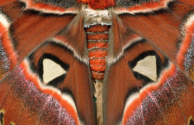 Atlas Photograph - Giant Atlas Moth by Nigel Downer