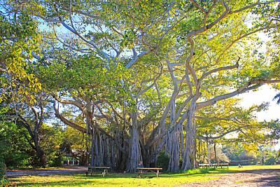 Banian Photograph - Giant Banyan Tree by Iryna Goodall