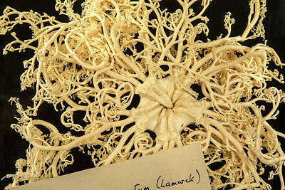 Echinoderm Photograph - Giant Basket Star by Natural History Museum, London