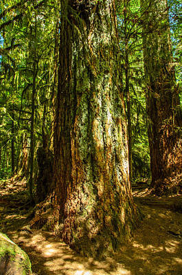 Photograph - Giant Douglas Fir Trees Collection 1 by Roxy Hurtubise