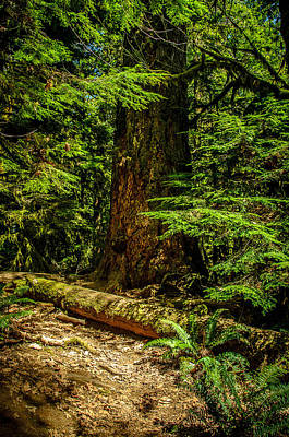 Photograph - Giant Douglas Fir Trees Collection 3 by Roxy Hurtubise