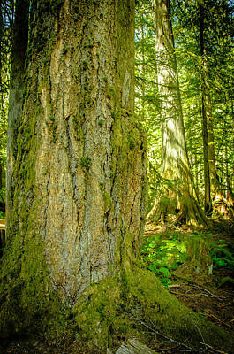Photograph - Giant Douglas Fir Trees Collection 6 by Roxy Hurtubise